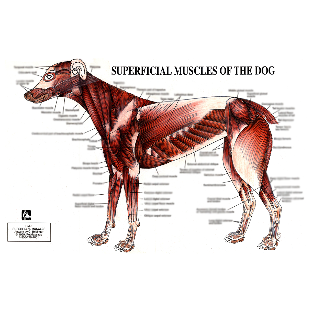 petmassage� chart 5 superficial muscles of the dog